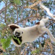 Madagascar Animal Lemur Sifaka Coquerel - Stock Photo