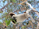 Madagascar beautiful Lemurs Animal Sifaka Coquerel — Stock Photo