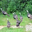 Turkeys at the walking — Stock Photo