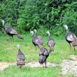 Stock Photo: Turkeys at walking