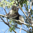 Koala on tree — Stock Photo #5886309