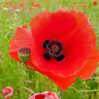 Stock Photo: Corn poppy