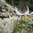 Erythronium — Stock Photo