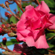 Pink oleander flower — Stock Photo