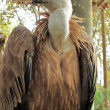 Stock Photo: Griffon Vulture, Gyps fulvus