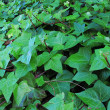 Stock Photo: Common Ivy, Hederhelix