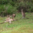 Eastern Grey Kangaroo, Macropus giganteus — Stock Photo