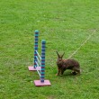 Photo: Rabbit in show jumping competition