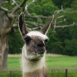 Stock Photo: Head of llama