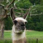 Head of a llama — Stock Photo
