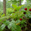 Stock Photo: Strawberry in forest