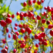 Stock Photo: Rose hip on rose bush