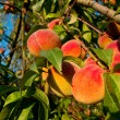 Stock Photo: Peaches on tree