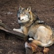 Stock Photo: Gray Wolf, Canis lupus