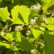 Stock Photo: Beech tree flowers