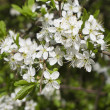 Blackthorn blooming, Prunus spinosa — Stock Photo