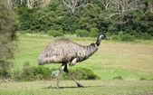 Emu bird — Stock Photo