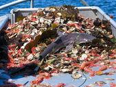 Shark as bycatch — Stock Photo