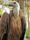 Griffon Vulture, Gyps fulvus — Stock Photo