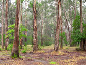 Eucalyptus forest — Stock Photo