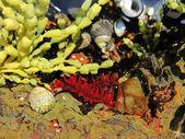 Anemone rosso nel suo habitat naturale — Foto Stock