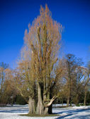 Bare salix tree in winter — Stock Photo