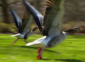 Anser anser, Greylag Goose, starting to fly — Stock Photo