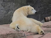 Polar bear relaxing, Ursus maritimus — Foto Stock