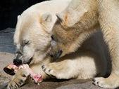 Two polar bears eating — Stock Photo
