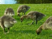 Chicks of greylag goose eating grass — Stock Photo