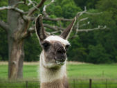 Head of a llama — Foto Stock