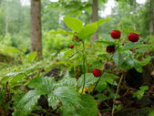 Strawberry in forest — Stock Photo