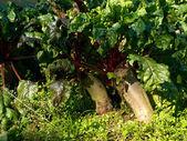 甜菜根的土壤有机耕作 — 图库照片