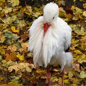 Bocian biały, ciconia ciconia — Zdjęcie stockowe