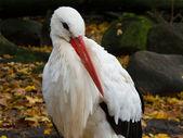 White stork, Ciconia ciconia — Foto de Stock