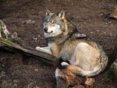 Gray Wolf, Canis lupus — Stock Photo