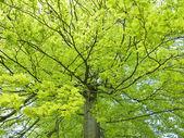 Yellow beech leaves — Stock Photo