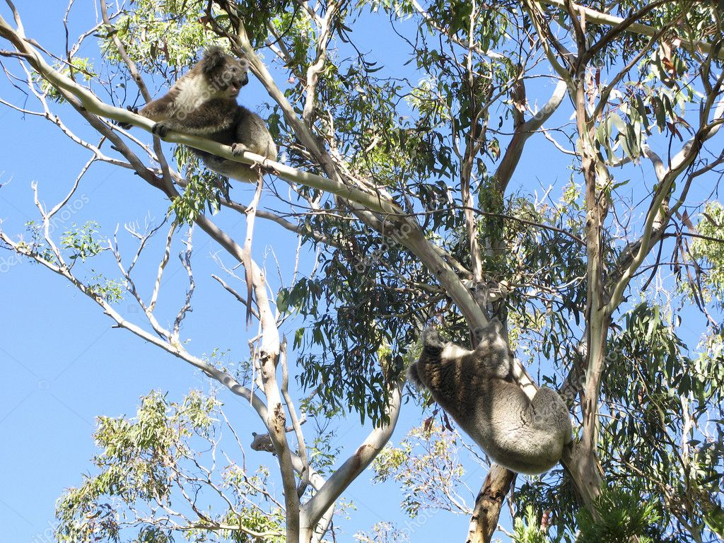 Koala, Phascolarctos cinereus, in its natural habitat on a eucalyptus tree — Stock Photo #5886313