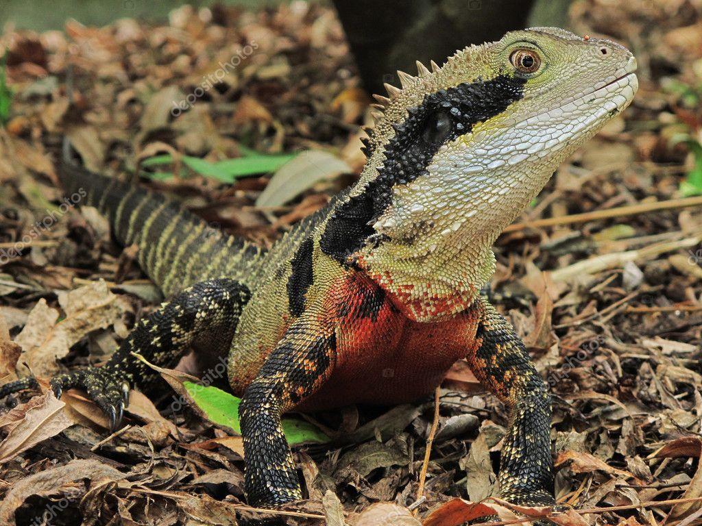 Australian Water Dragon: Australian Water Dragon Physignathus Lesueurii