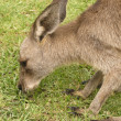 Kangaroo head - Stockfoto