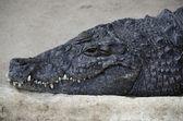 Portrait of a nile crocodile — Стоковое фото