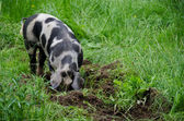 Pig with black dots — Stock Photo