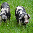 Two pigs with black dots - ストック写真