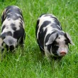 Two pigs with black dots - Stock Photo