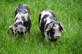 Two pigs with black dots — Stock Photo