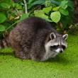 Racoon, Procyon lotor - Stock Photo