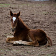 Horse foal sitting on the ground - Stock Photo
