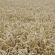 Wheat field background - Stock Photo