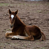 Horse foal sitting on the ground — Stock Photo