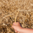 Royalty-Free Stock Photo: Hand with three spikelets of wheat